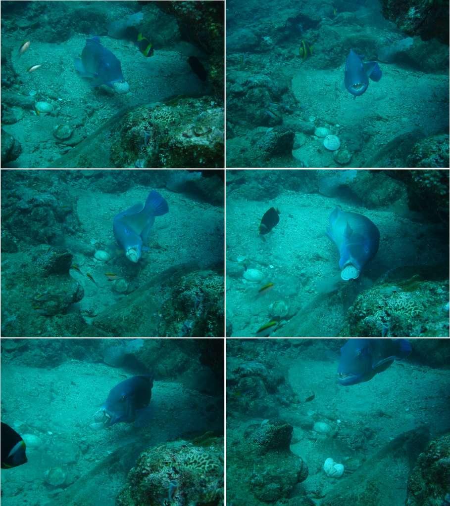 Séquence de photos montrant un poisson (Choerodon schoenleinii) utilisant un rocher pour casser un bivalve © Scott Gardner