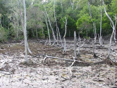 Palétuviers morts en lisière de mangrove à Excoecaria en Nouvelle-Calédonie © JM Lebigre Reproduction et utilisation interdites