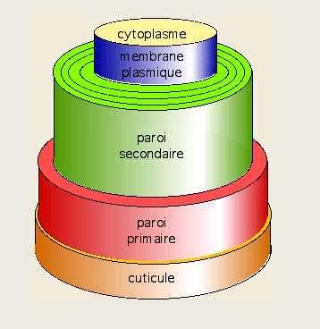 Structure du poil de coton. © B.Media