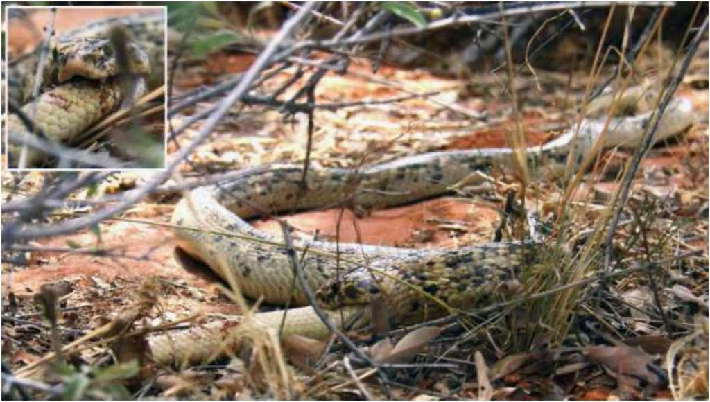 Un cobra du Cap (Naja nivea) en train de dévorer un autre serpent dans la réserve de Tswalu, dans le désert du Kalahari. © Bryan Maritz et al. The Scientific Naturalist