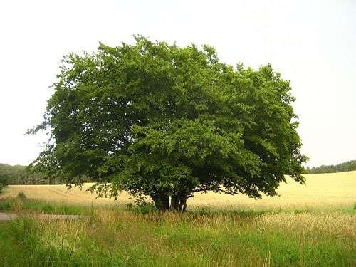 Charme commun (Carpinus betulus). © Botarus, domaine public