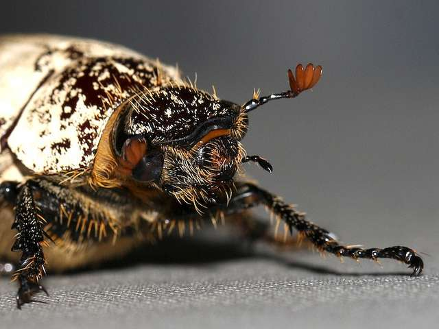 Dermolepida albohirtum, le coléoptère qui s'attaque aux plantations de canne à sucre. © Malcolm NQ, Flickr, cc by nc sa 2.0