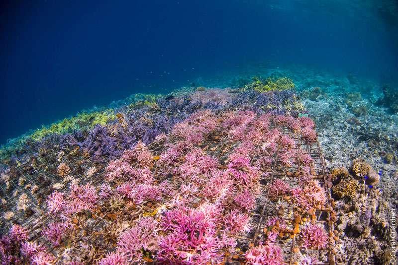 Dans cette nurserie, vivent trois espèces d'Acropora branchus, qui poussent de 0,6 cm à plus de 1 cm par mois. © Guillaume Holzer, Coral Guardian, tous droits réservés