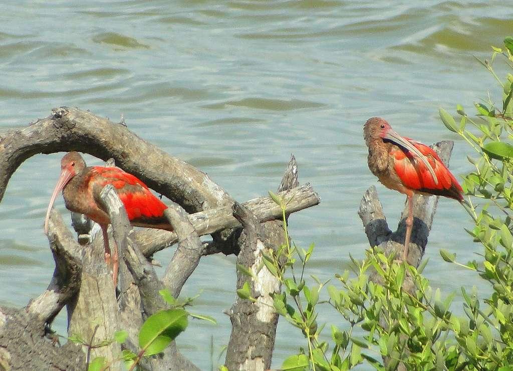 Ibis rouges dans une lagune vénézuélienne. © barloventomagica, CC BY-NC-ND 2.0