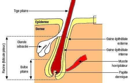 Le poil humain et sa pathologie   Dossier