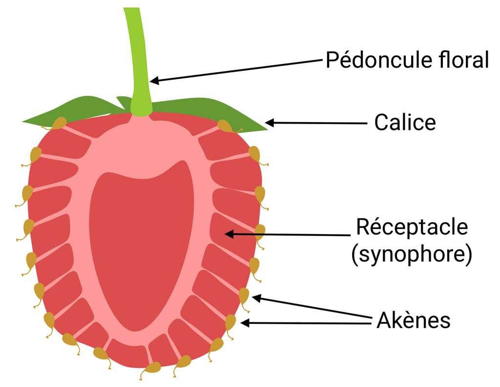La fraise est un fruit complexe, composé de centaines d'akènes qui sont en réalité les véritables fruits contenant la graine. © Kazakova Maryia, Adobe Stock, adaptation C.D pour Futura