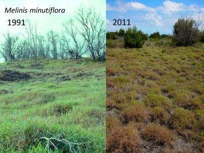 En vingt ans, la plante originaire d'Afrique, Melinis minutiflora, qui avait envahi Hawaï, comme ici dans le parc national des volcans d'Hawaï, a considérablement régressé. Mais l'écosystème initial n'est pas pour autant réapparu. © University of California, Santa Barbara