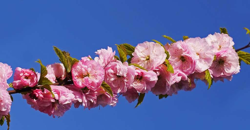 Fleurs d'amandier. © Hpgruesen, Pixabay, DP