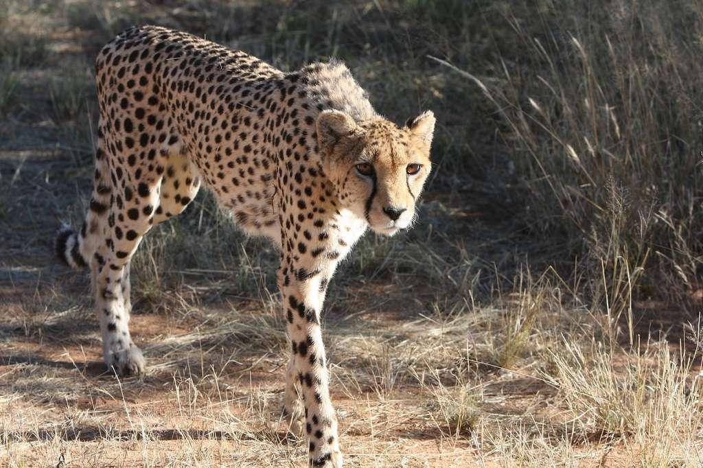 Un guépard à l'allure svelte. © roelroelofs, Pixabay, DP