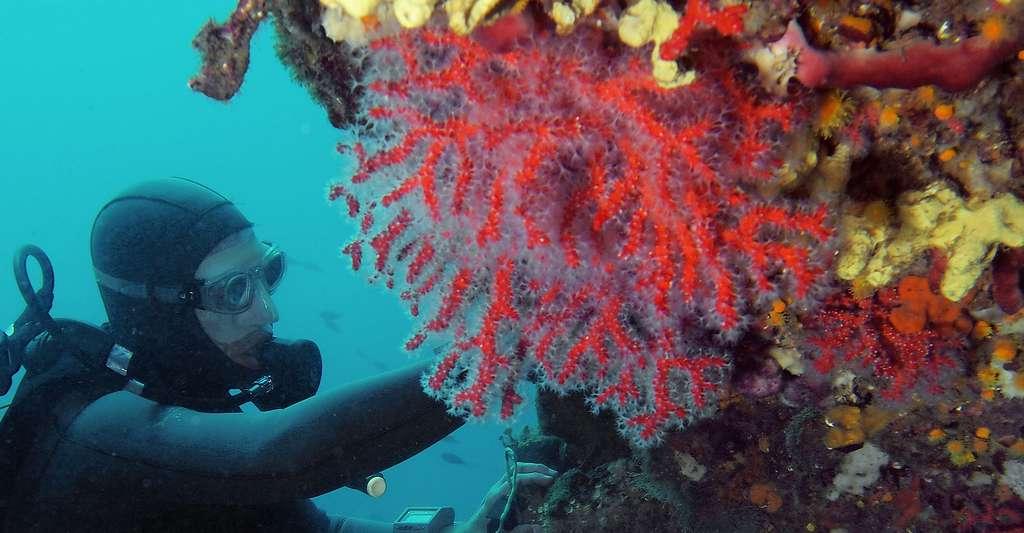 Le corail rouge a toujours été recherché par les Hommes, mais ses stocks diminuent. Ici, dans la réserve marine de Carry-le-Rouet. © J.-G. Harmelin, tous droits réservés, reproduction et utilisation interdites