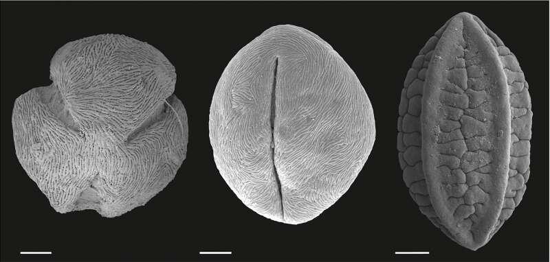 Pollens fossiles des plantes Nitraria et Ephedra. © Prof. Carina Hoorn