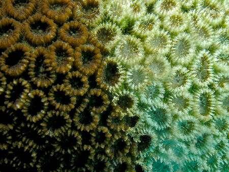Corail Favia pallida montrant des signes de blanchiment à droite © N. Hobgood CC by-sa