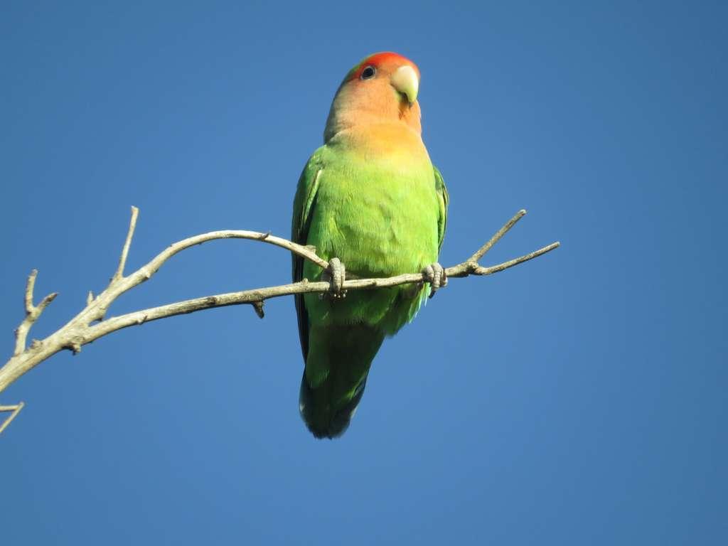 L'inséparable Rosegorge (Agapornis roseicollis) est une espèce de petit perroquet africain. © larivera, iNaturalist