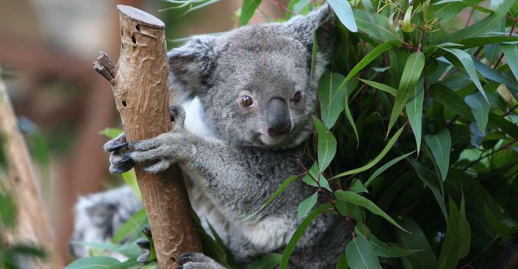 Le koala est l'un des symboles les plus populaires de l'Australie. De nos jours, il est toujours menacé par la fragilité de son habitat naturel. © Amy the Nurse, CC BY-NC 2.0
