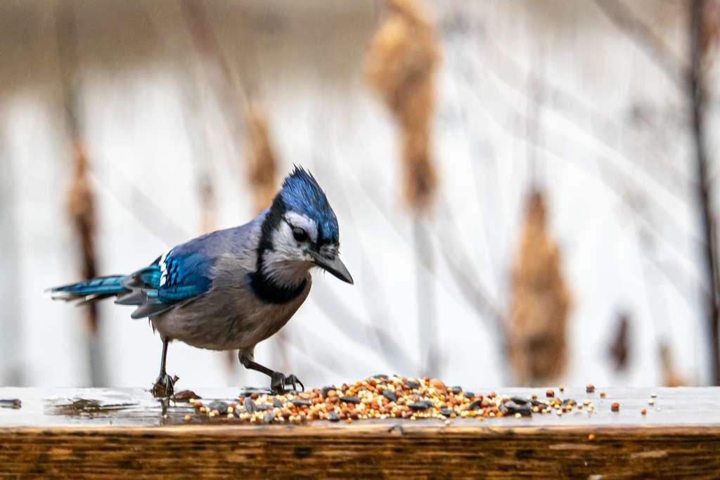 Le risque que des oiseaux consomment des graines de betterave enrobées de néonicotinoïdes semble faible. © Colin Temple, Adobe Stock