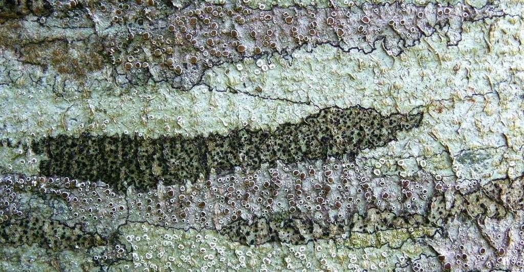Les lichens élaborent de magnifiques compositions sur les troncs des arbres. © Yannick Agnan - Tous droits réservés