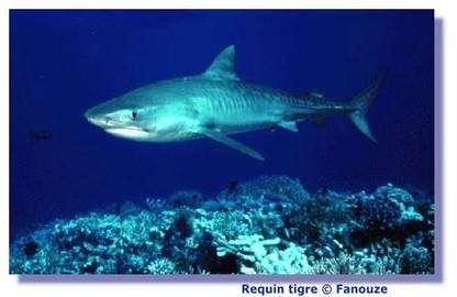 Le nombre de fentes branchiales dépend de l'espèce du requin. © Fanouze