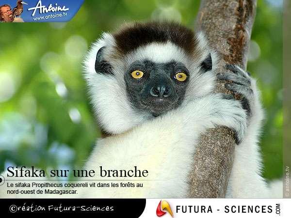 Lémurien Sifaka sur sa branche