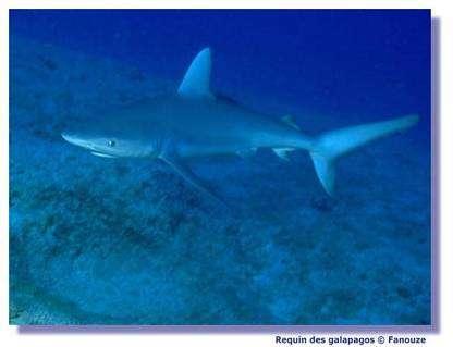 Les requins sont bien conçus pour la nage. © Fanouze
