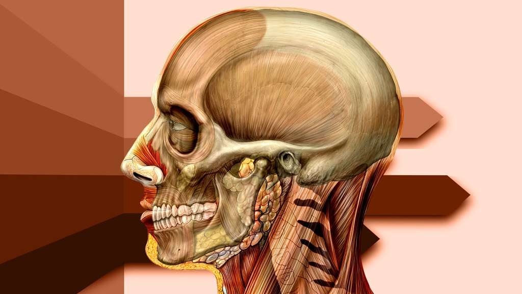 Anatomie de la tête de côté avec le crâne