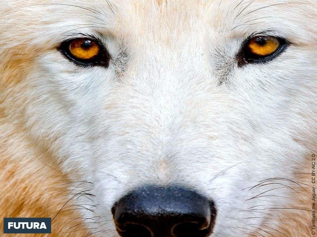 Qui suis-je ? le loup polaire