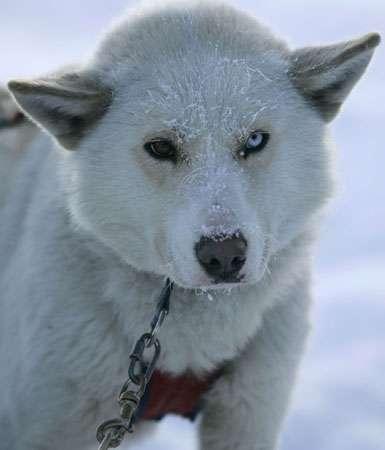Narsuak, un chien courageux a fait un arrêt cardiaque, lors d'une bagarre © Alexey Bushov - Toute reproduction ou utilisation interdite