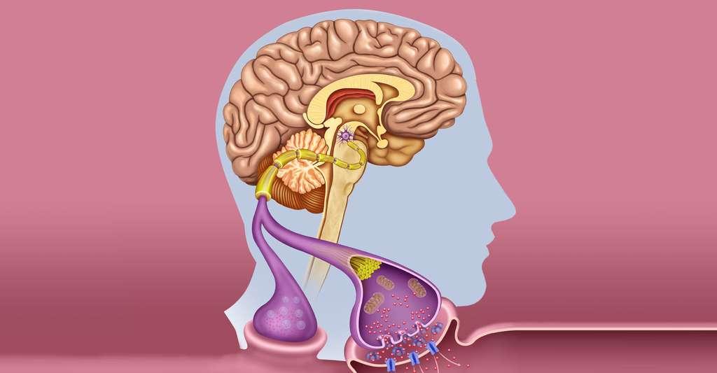 Effets sur les neurones du cerveau. © Alexilusmedical, Shutterstock