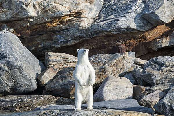 L'ours polaire est le plus grand carnivore terrestre. Et c'est sur la banquise qu'il chasse, se repose et se reproduit. Une banquise que le réchauffement climatique menace de plus en plus. Alors, avant que l'ours polaire ne disparaisse avec elle, montrez-le sur votre T-shirt ou sur votre sweat SOS Planète. © Florian Ledoux, tous droits réservés