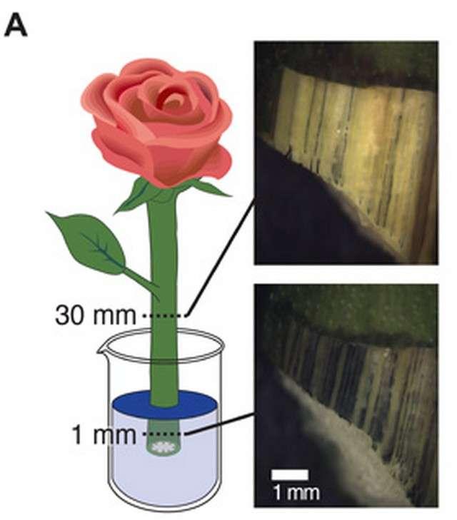 La rose est plongée dans une solution aqueuse contenant une variante du polymère Pedot. Celui-ci est absorbé par capillarité et va former des fils conducteurs que l'on aperçoit dans la vue en coupe agrandie de la tige (à droite). © Linköping University