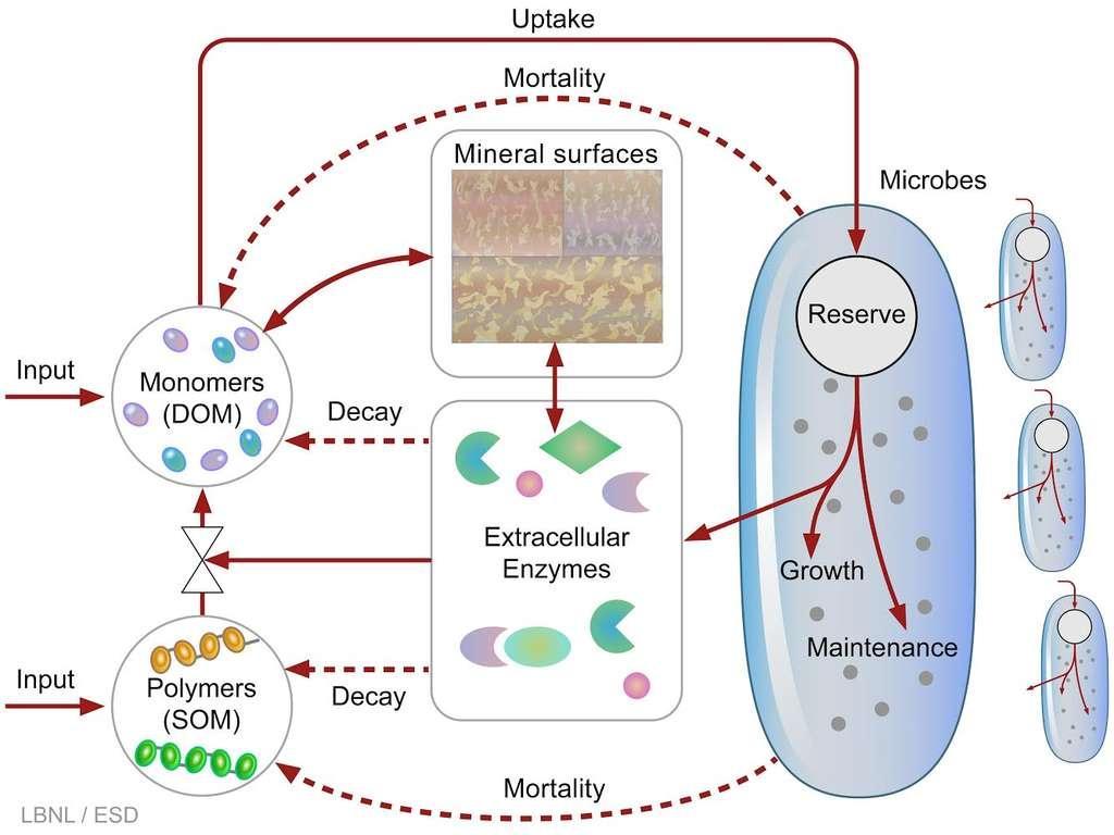 La dynamique complexe des microbes du sol est résumée dans ce schéma. Pour la première fois, ces processus sont inclus dans un modèle informatique qui prédit le sort du carbone dans le sol quand les températures augmentent. © Berkeley Lab