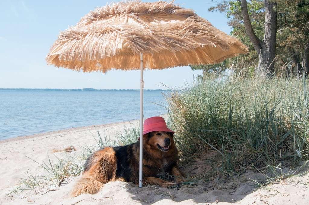 À la plage, mieux vaut protéger votre chien du soleil. © Sabine Schönfeld, Fotolia