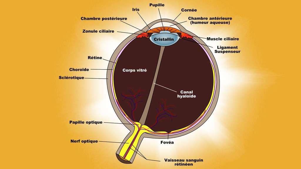 Schéma d'une coupe transversale de l'œil
