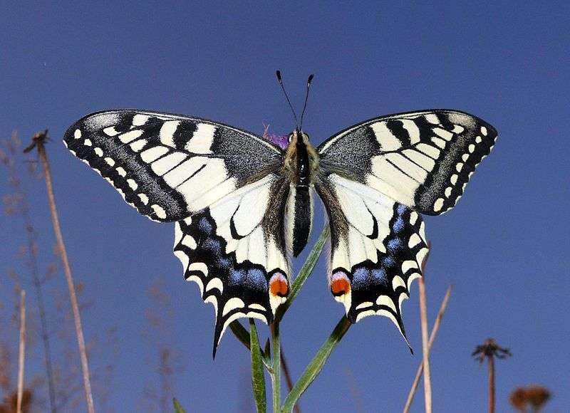 Machaon. © Bernd Haynold, GNU FDL Version 1.2
