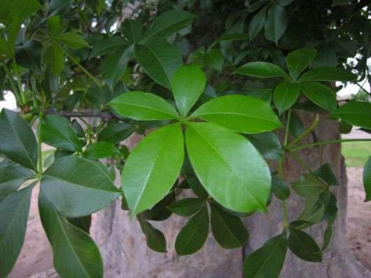 Feuille digitée du baobab (Adansonia digitata). © S. Garnaud - Reproduction et utilisation interdites