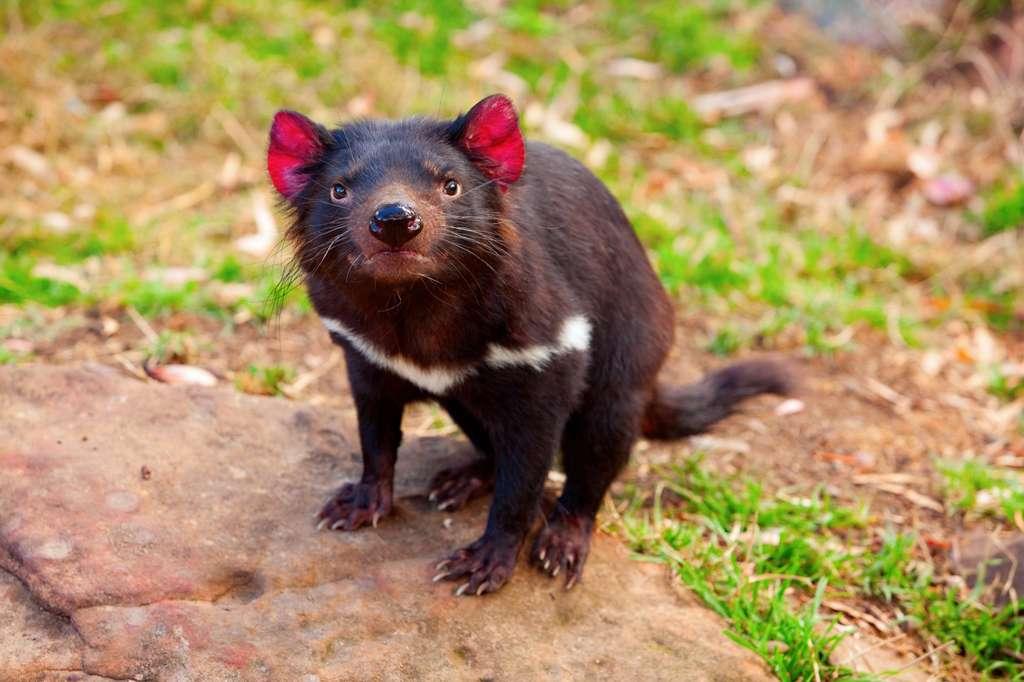 Du point de vue phylogénétique, le diable de Tasmanie est le plus proche cousin vivant du thylacine. © Oleksii, Fotolia