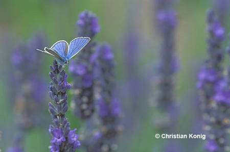 Le demi argus est également un papillon bleu. © Christian Konig - Tous droits réservés