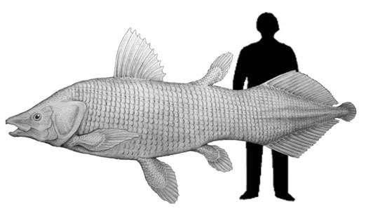Reconstitution du coelacanthe Mawsonia avec une silhouette humaine pour échelle. © L. Cavin.