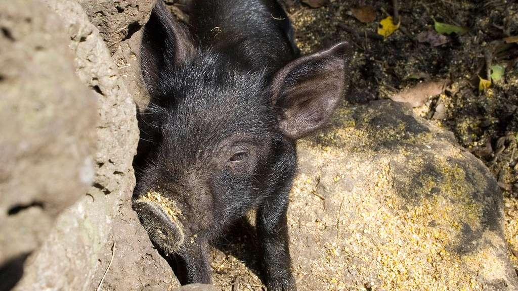 Le porc noir de Jeju