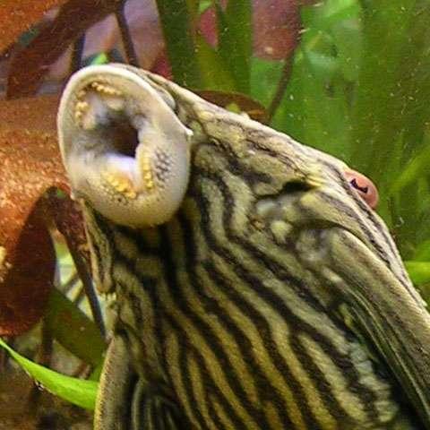 Chez les poissons, la bouche ne sert qu'à s'alimenter, la respiration se faisant par les branchies. Les aliments introduits dans le tube digestif sont ensuite broyés dans l'estomac. © Ark, Wikipédia, CC by-sa 3.0