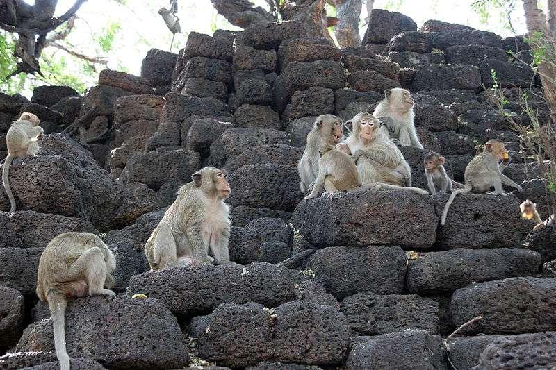 Macaques crabiers en Thaïlande. © Christina Rebernic, GNU FDL Version 1.2