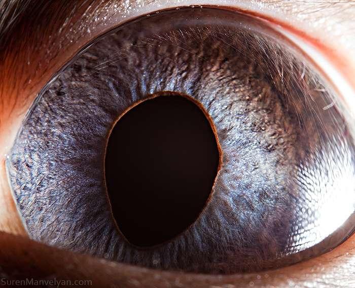 Vision nocturne : l'œil du chat siamois