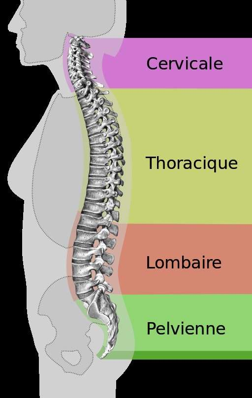 Le syndrome de la queue de cheval affecte les vertèbres lombaires L1 à L5 et le sacrum. © Medium 69, Wikimedia Commons, DP