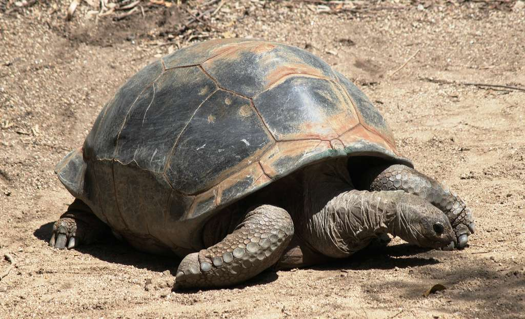 Les tortues géantes des Seychelles (Aldabrachelys gigantea) peuvent atteindre plus de 1,20 m. © OZinOH, Flickr, cc by nc 2.0