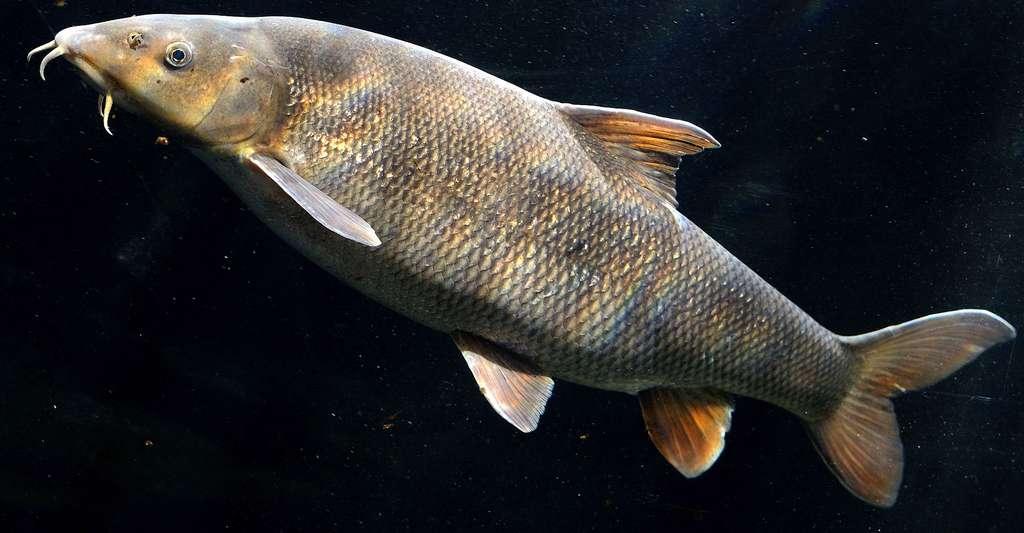 Comment fonctionnent le tube digestif et le système excréteur du poisson ? Ici, Barbus barbus. © Linie29, CC by-sa 3.0