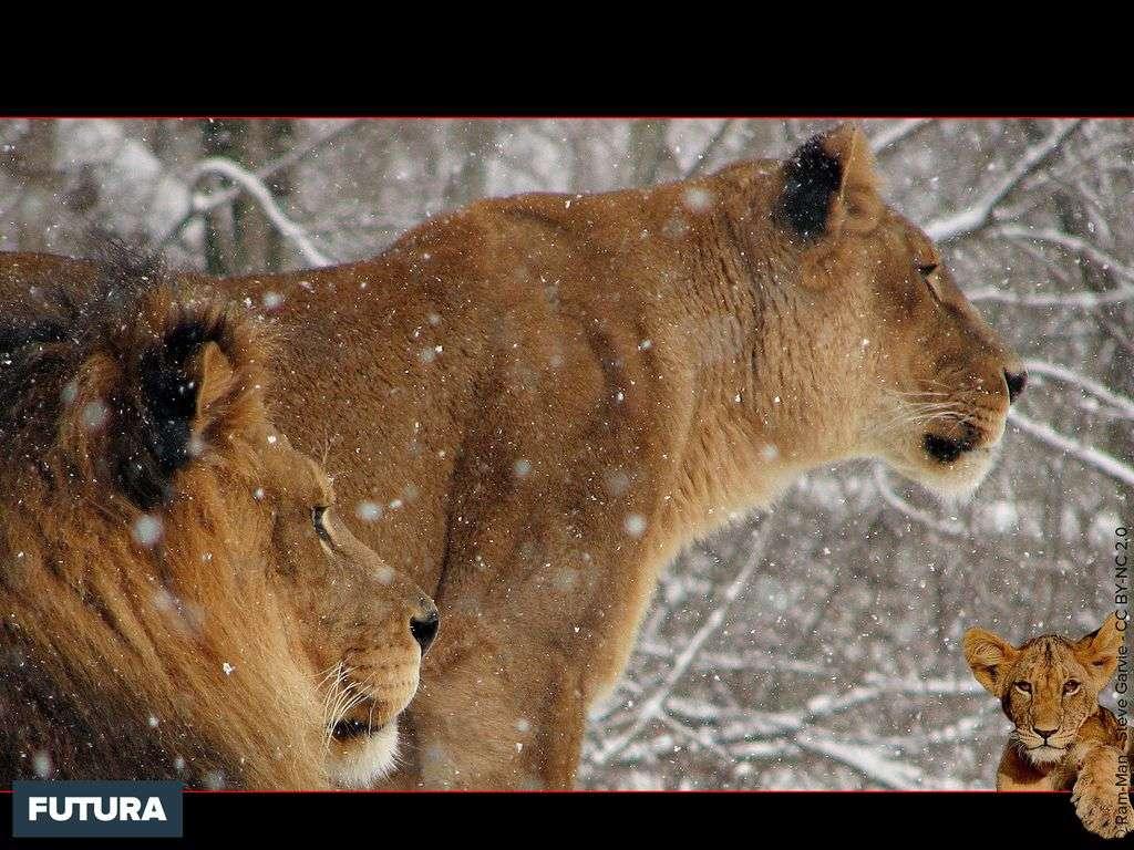 Lion et lionne d'Afrique - Panthera leo