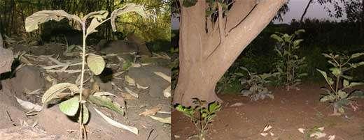 Pouteria alniifolia à gauche, Vitex doniana à droite - Occupation du l'espace, dispersion à courte distance © Photo Philippe Birnbaum - Tous droits de reproduction réservés