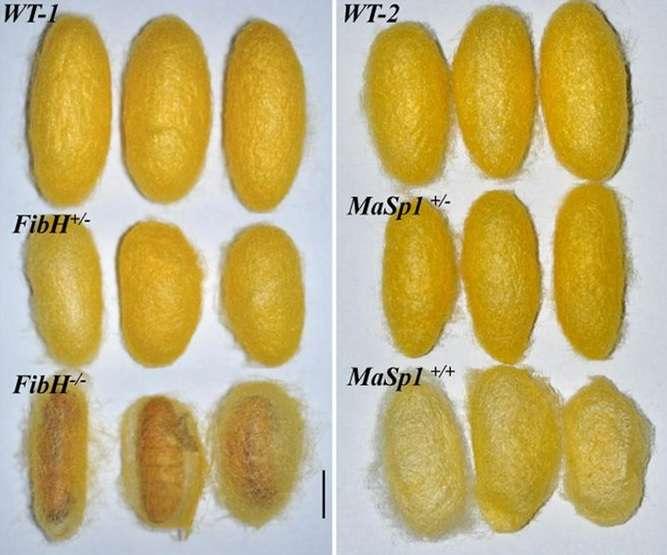 Cocons normaux (en haut) et contenant de la fibre d'araignée (en bas à droite). © Xu et al, PNAS 2018