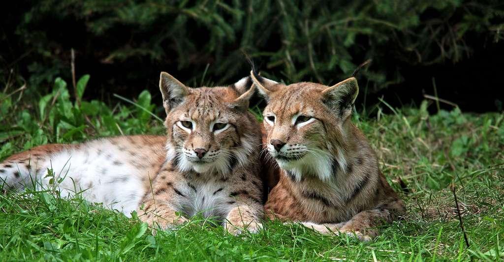 Jeunes lynxs. © Barni1, Pixabay, DP
