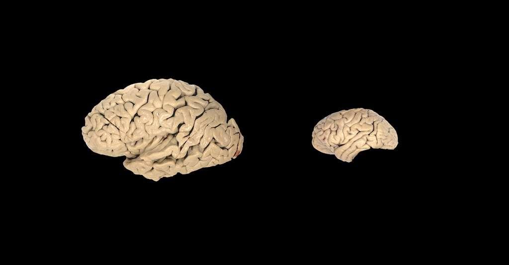 Comparaison d'un cerveau humian (gauche) et d'un cerveau de chimpanzé (droite) © Todd Preuss, Wikimedia commons, CC BY 2.5