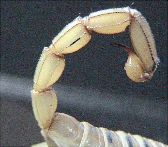 Segment terminal d'abdomen de scorpion. © WikiCommons